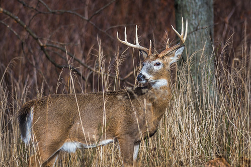 buck winter palmryacovenaturepark rack wildlife whitetaildeer whitetail nature eightpointer deer animal palmyra newjersey unitedstates us