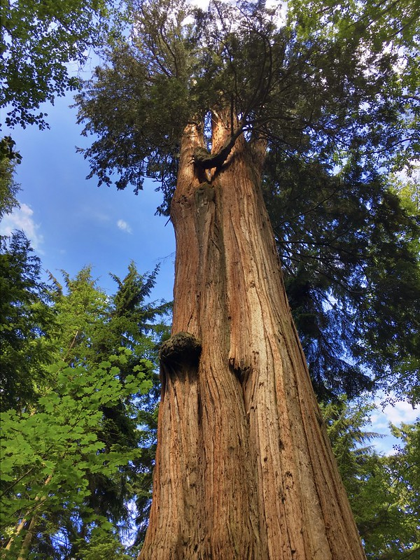 Stanley Park Big Trees Hike