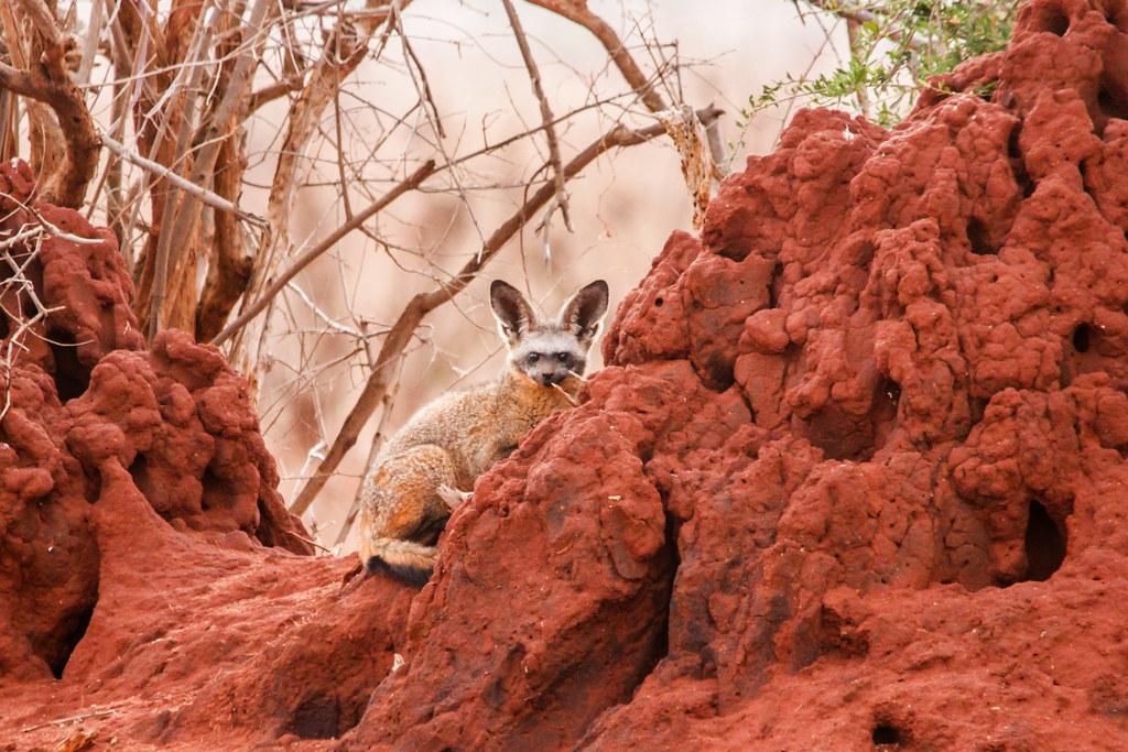 Bat-eared Fox - Otocyon megalotis, Tsavo West NP111106
