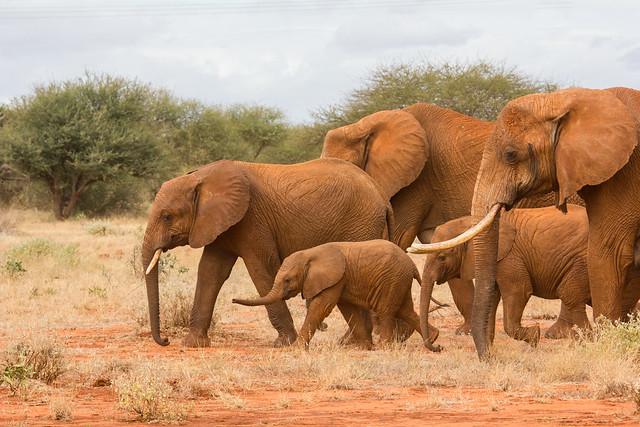 African Elephant - Loxodonta africana, Ngutuni Lodge