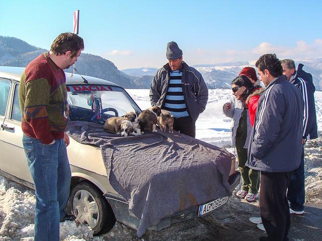 Shepherd selling Carpathian shepherd puppies