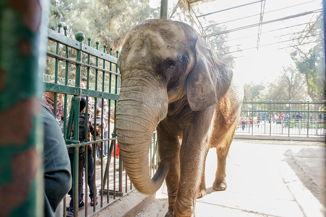 African elephant in Egypt's Giza zoo
