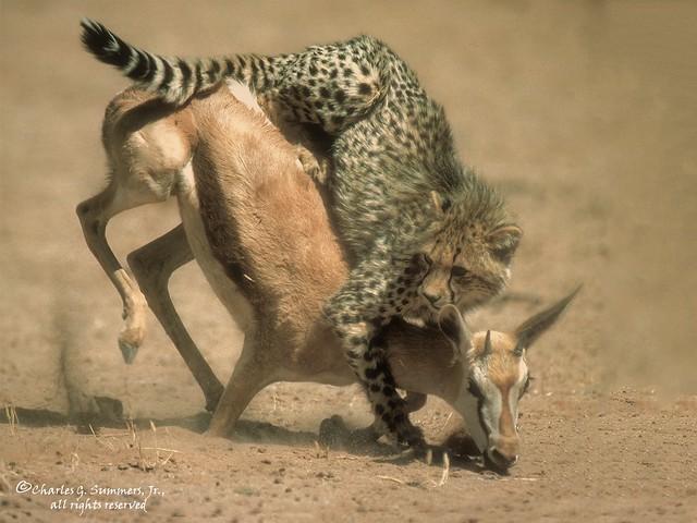 Cheetah on back of Springbok 05150-02802