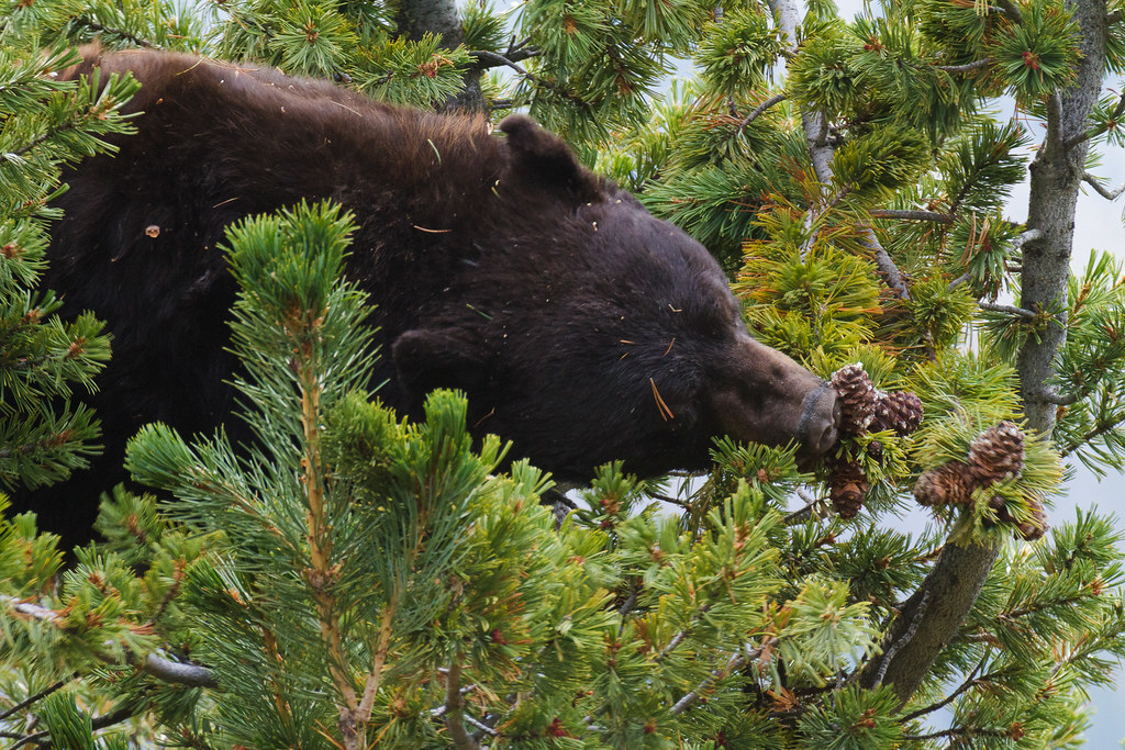 A close-up of a black bear stretching to reach a pine cone on the Mount Washburn Trail (South) in Yellowstone National Park on October 1, 2011. Original: _MG_1378.cr2