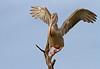 Pink-backed Pelican, Pelecanus rufescens by f_snarfel