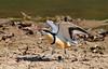 (3) Egyptian Plover, Pluvianus aegyptius by f_snarfel