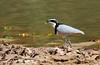 (5) Egyptian Plover, Pluvianus aegyptius by f_snarfel