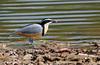 (1) Egyptian Plover, Pluvianus aegyptius by f_snarfel