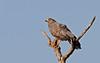 African Harrier-Hawk, Polyboroides typus by f_snarfel