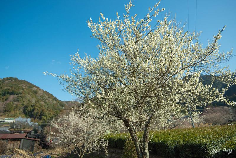 立派な梅の木 by Noël Café