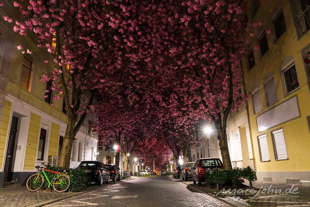 Kirschblüten in der Bonner Heerstrasse - Cherry Blossom Avenue Bonn