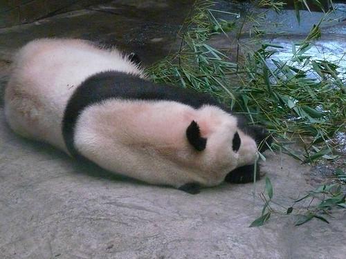 Panda, Beijing Zoo, China