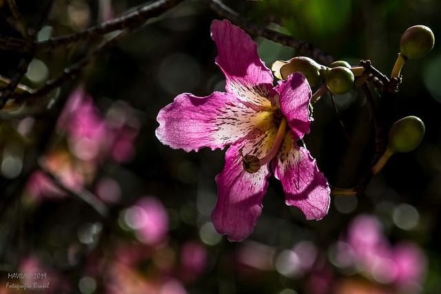 Paineira  ( Ceiba speciosa)  -  silk floss tree