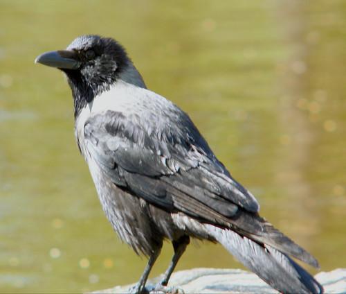 Hooded crow, Corvus cornix, Kråka