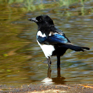 Wading Eurasian magpie, common magpie, Pica pica, skata