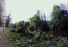 Egyptian geese chicks #fisheye