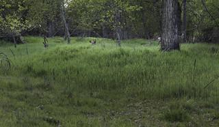 Seven deer