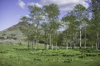 Desert aspens