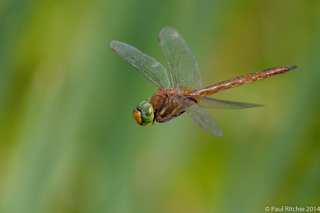 Green-eyed Hawker (Aeshna isosceles)