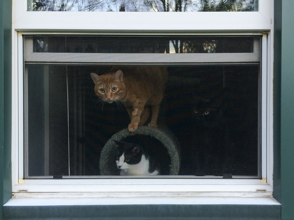 Our cats Sam, Boo, and Emma sitting in the open window of my office as viewed from the outside in April 2014