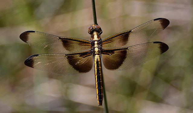 Widow Skimmer, teneral female