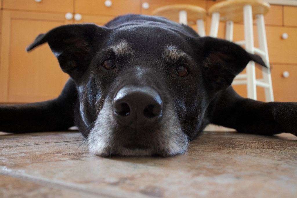 A close-up of our dog Ellie lying on the kitchen tile with her ears raised and wiggling, taken in July 2013