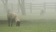 Sheeps by Noël Café