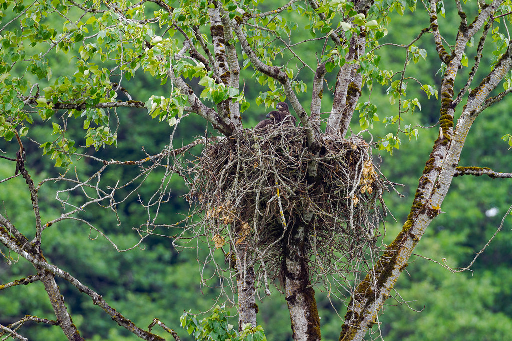 Two bald eagle nestlings look out from their nest high in a tree at Ridgefield National Wildlife Refuge in Washington in May 2012