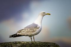 Swedish Gull