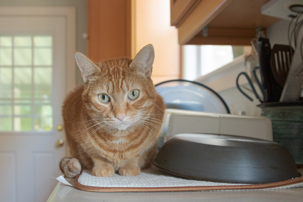 Our cat Sam sitting beside clean dishes on the kitchen counter in our house in Portland, Oregon on Halloween in October 2014