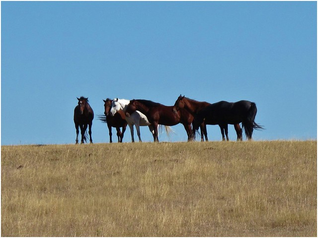 Wild horses in Black Hills of Wyoming