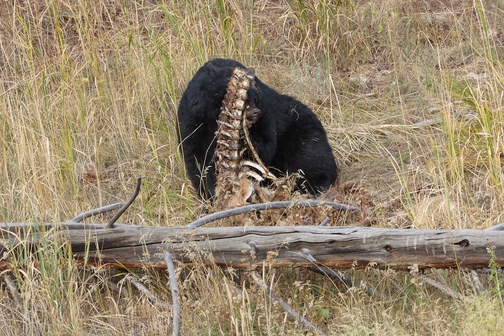 A black bear chews on the ribs of an old carcass beside a downed log at Yellowstone National Park on October 4, 2006. Original: _MG_5935.cr2