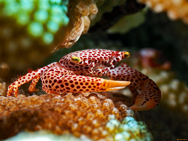 Red -Spotted Guard Crab - Trapezia tigrina