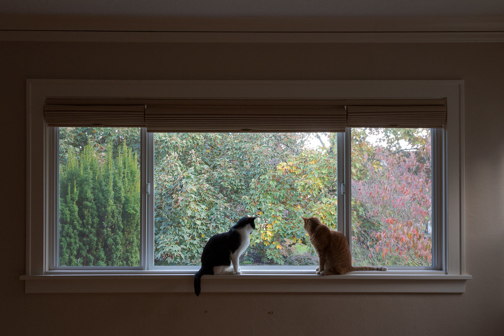 Our cats Boo and Sam keep keep watch in the picture window of our living room with trees in the background on Halloween in October 2014