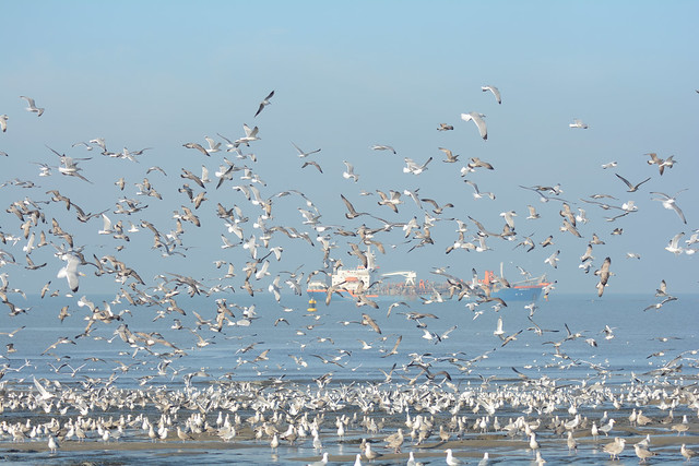 Brittish Herring gull