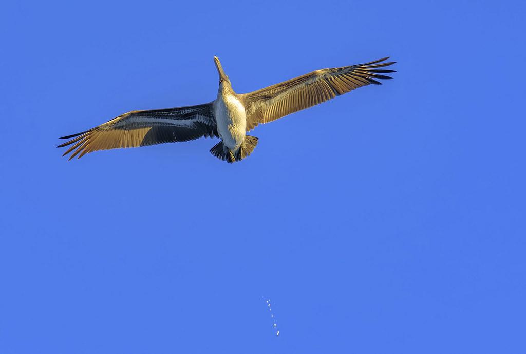Oh crap Brown Pelican Pelecanus occidentalis