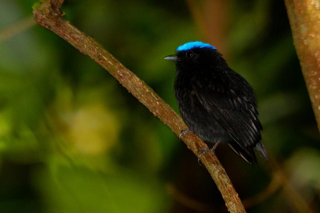 Blue-crowned Manakin - Pipra coronata