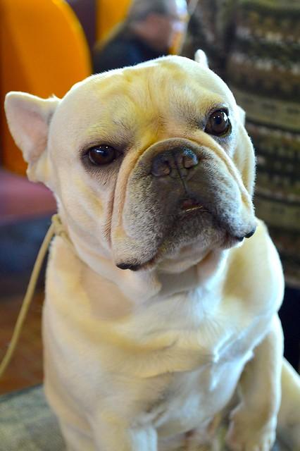 A cute French Bulldog stares ahead