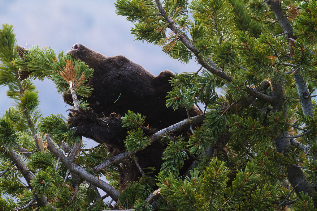 A black bear in a tree reaches for a pine cone on the Mount Washburn Trail (South) in Yellowstone National Park in Wyoming on October 1, 2011. Original: _MG_1238.cr2