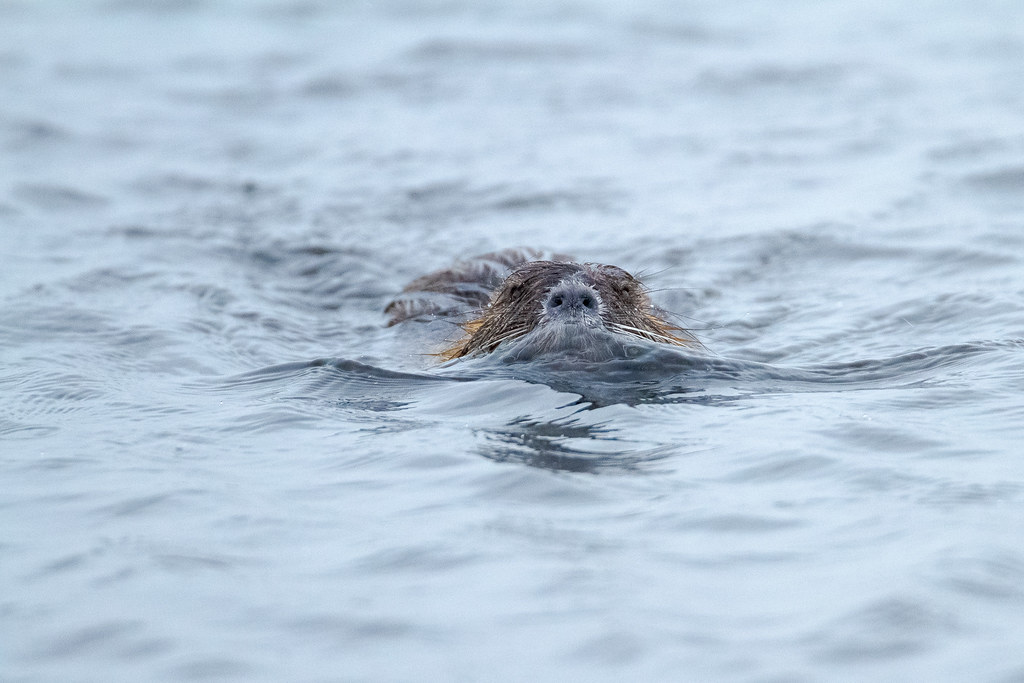 A nutria swims towards me in the slightly choppy waters of Rest Lake at Ridgefield National Wildlife Refuge in Ridgefield, Washington in December 2011