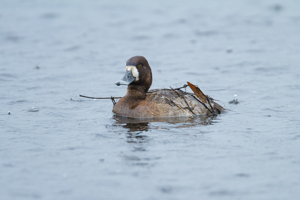 As the rain pelts down a female lesser scaup swims with plants on her back that she picked up during her last dive to feed at Horse Lake at Ridgefield National Wildlife Refuge in Ridgefield, Washington in December 2011