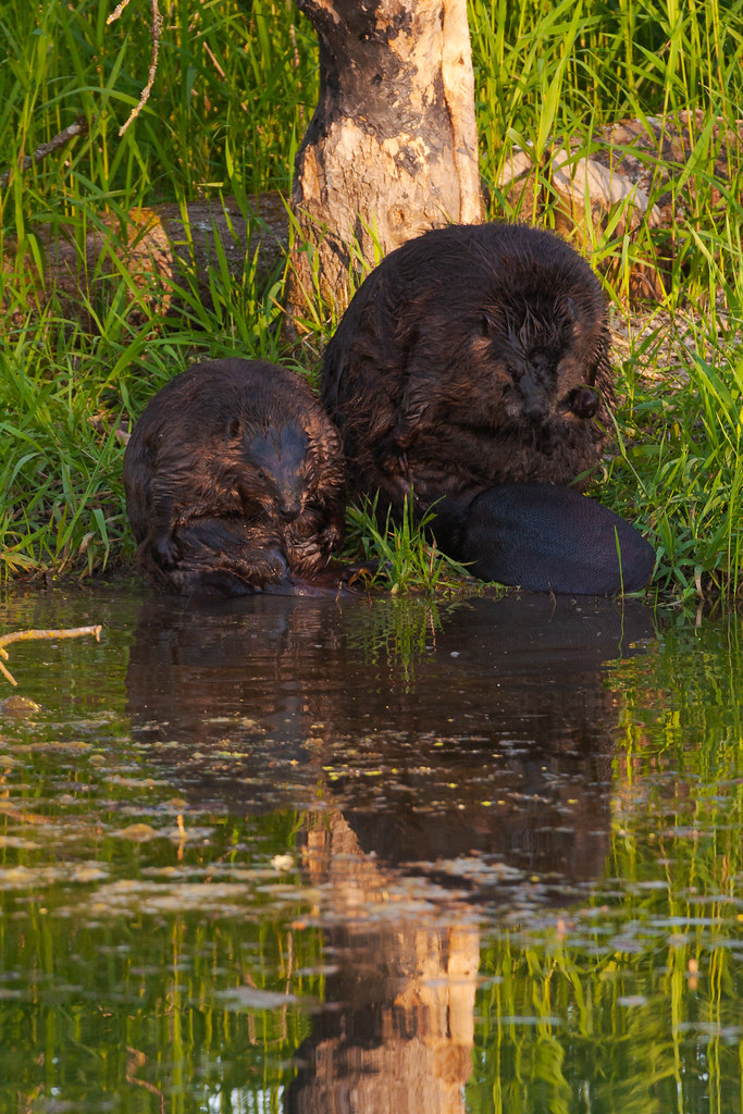 An adult and a juvenile American beaver preen side-by-side in the early morning light at Ridgefield National Wildlife Refuge in May 2006