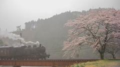 雨と桜 by Noël Café
