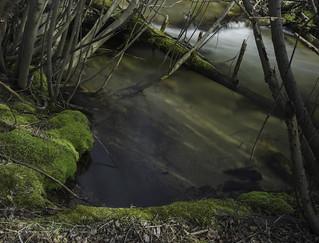 Rattlesnake moss