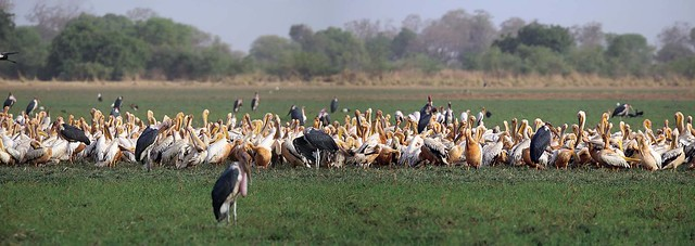White pelicans and marabou storks at Rigueik in Zakouma National Park in Chad