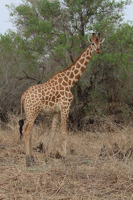Kordofan Giraffe Zakouma NP Chad