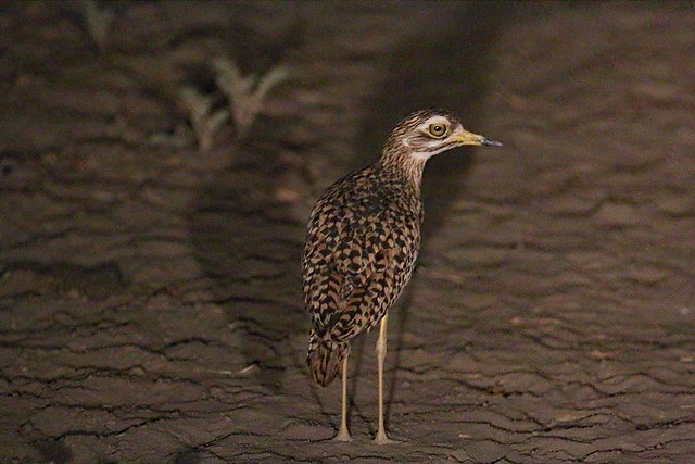 Spotted dikkop (thick-knee) at Rigueik in Zakouma National Park in Chad