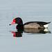 Ducks, Geese, and Waterfowl - Anatidae