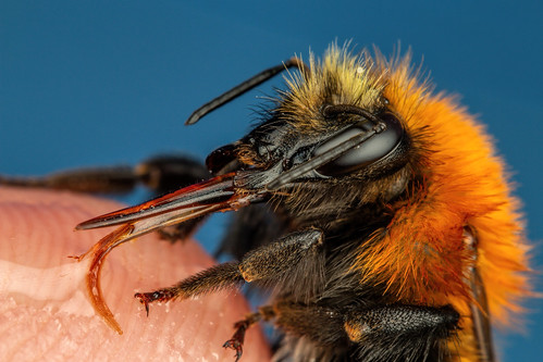 Finger Fed Bumblebee | by Dalantech