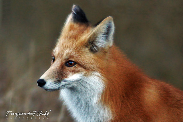 A Red Fox in Canadian Foothills